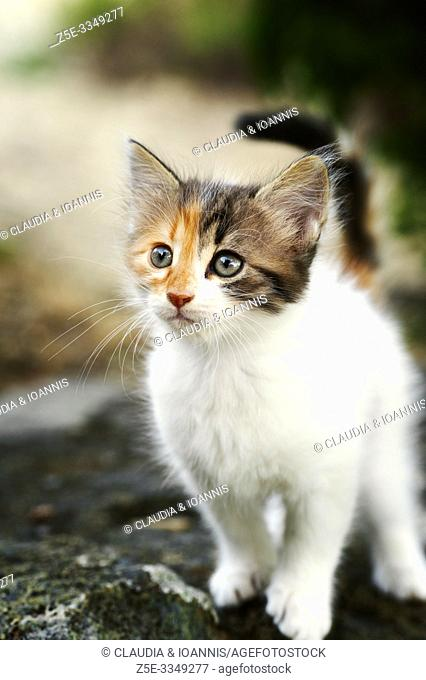 Portrait of a calico kitten standing on a stone outdoors