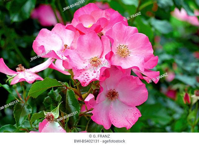 ornamental rose (Rosa spec.), cultivar Vegesacker Charme