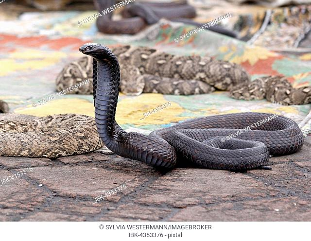 Indian cobra (Naja naja) belonging to snake charmer, Jemaa el Fna market place, Marrakesh, Morocco