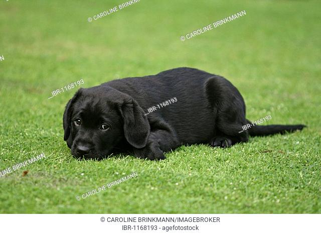 Labrador Retriever puppy, 9 weeks, on the lawn in a garden