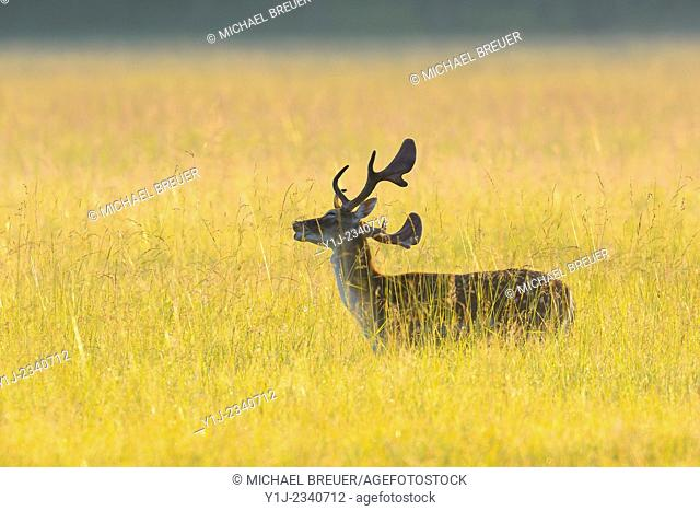 Fallow Deer (Cervus dama), Hesse, Germany, Europe