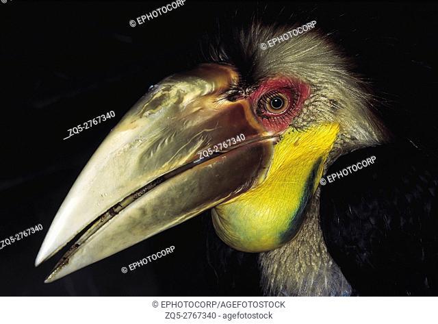 Rhyticeros undulatus. Wreathed Hornbill. Captive specimen. Arunachal Pradesh, India