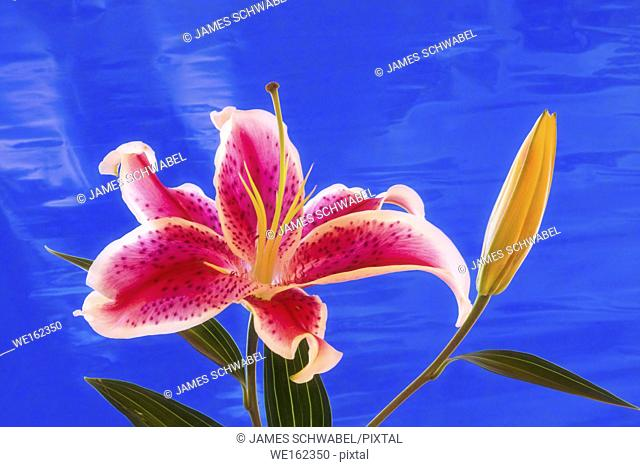 Close up of single red and white Stargazer Lily