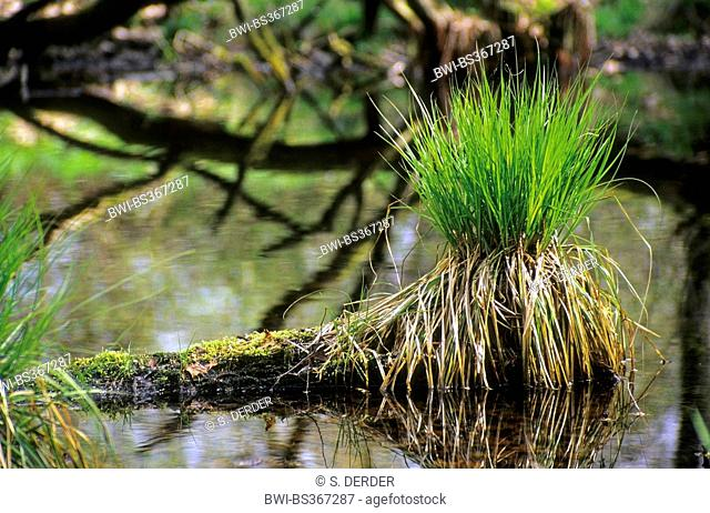sedge on a fallen tree in a small forest lake, Germany, North Rhine-Westphalia, Siegaue