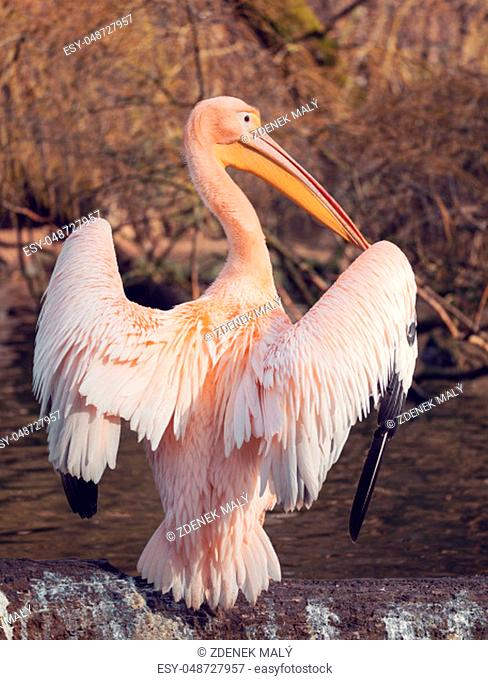 Great White Pelican, Pelecanus onocrotalus, preening their feathers after bathing