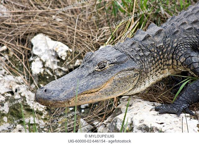 A tram tour at the Shark Valley Visitor Center of the Everglades National Park in Florida takes visitors past countless alligators