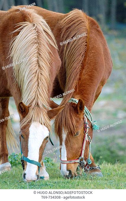 Horses grazing in pasture. Salamanca province, Castilla-Leon, Spain