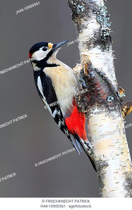 Tree, trunk, birch, spotted woodpecker, Cairngorms, Dendrocopos major, Great, Spotted, Woodpecker, male, national park, park, portrait, bark, Scotland