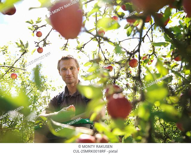 Farmer picking apples in orchard