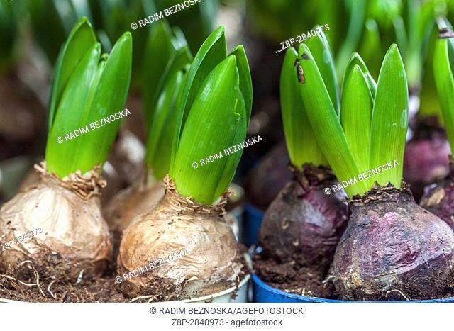 The budding Hyacinth bulbs in flower pots