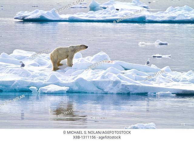 Adult polar bear Ursus maritimus feeding on seal carcass on multi-year ice floes off the coast of Edgeøya Edge Island in the Svalbard Archipelago