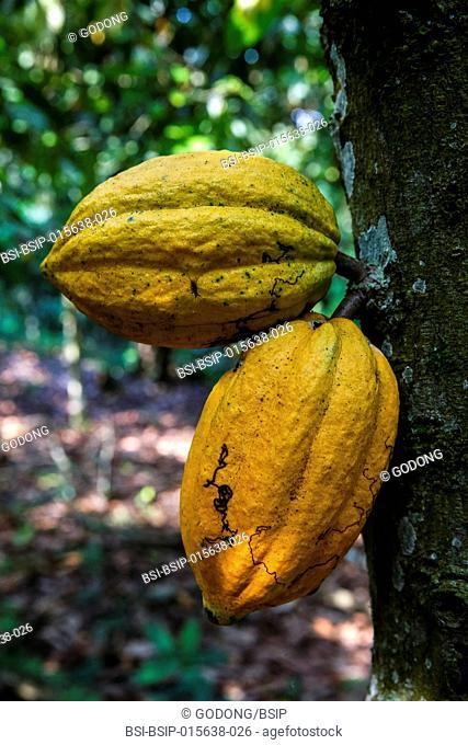 Ivory Coast. Cocoa pods on tree