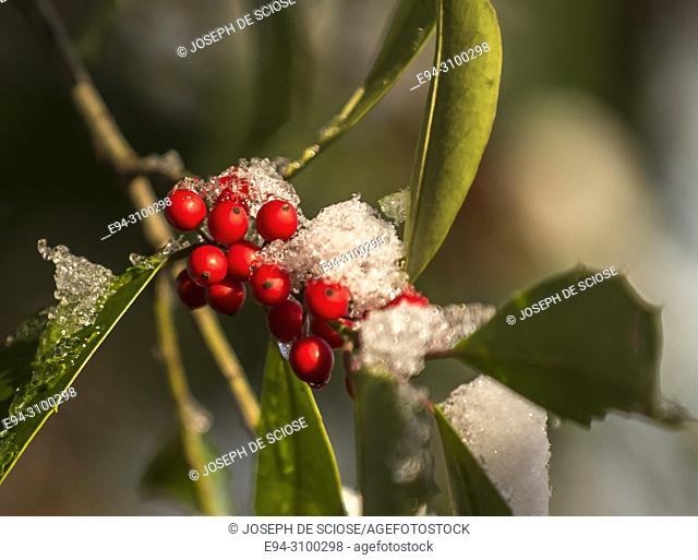 A dusting of snow on the leaves and berries of a holly tree after a snow storm. Birmingham, Alabama, USA