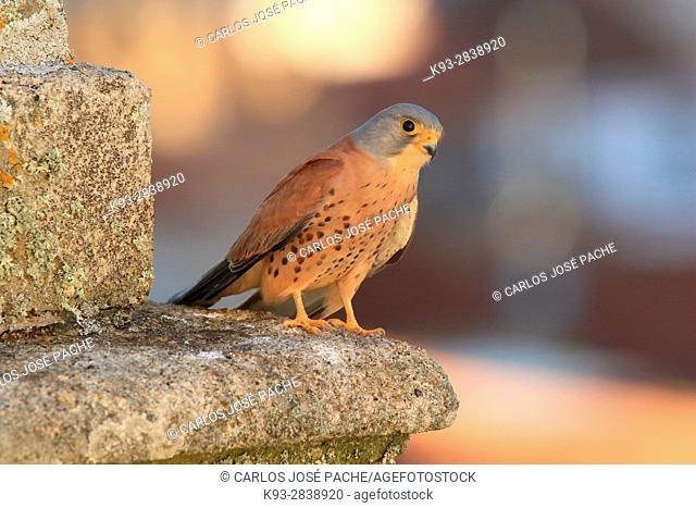 Cernícalo Primilla (Falco naumanni) en la ciudad de Cáceres, Extremadura