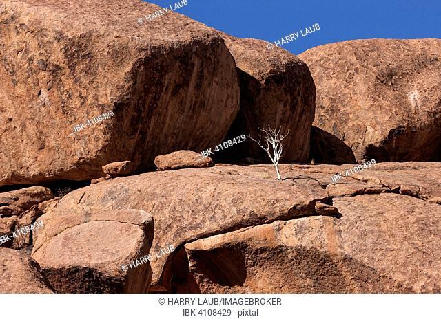 Shepherd's tree (Boscia albitrunca) between rocks at Twyfelfontein, Namibia