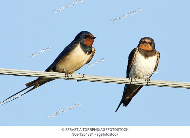 Couple of Swallow Hirundo rustica on a electricity cable, Spain