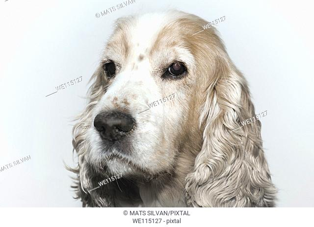 Headshot on a cocker spaniel dog