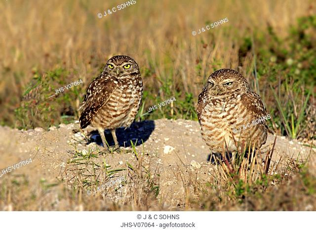 Burrowing owl, (Athene cunicularia), Cape Coral, Florida, USA, North America, adult couple at den
