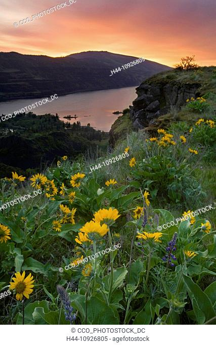 Rowena Point, Sunrise, Balsamroot, Balsamorhiza deltoidea, Columbia River, Gorge, Oregon, OR, Columbia River, water, river, flowers, wildflowers
