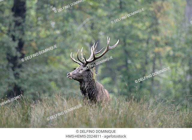 France, Moselle, Animal Park Saint Croix, Rhodes, red deer (Cervus elaphus), male at the time of the slab out of the woods