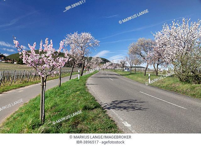 Country road, blossoming almond trees, German Wine Route, Gimmeldingen, Neustadt an der Weinstraße, Rhineland-Palatinate, Germany