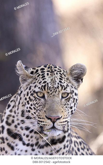 South Africa, Mala Mala game reserve, savannah, African Leopard (Panthera pardus pardus), resting on the ground