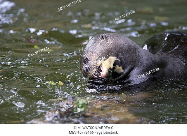 Giant Otter. (Pteronura brasiliensis)