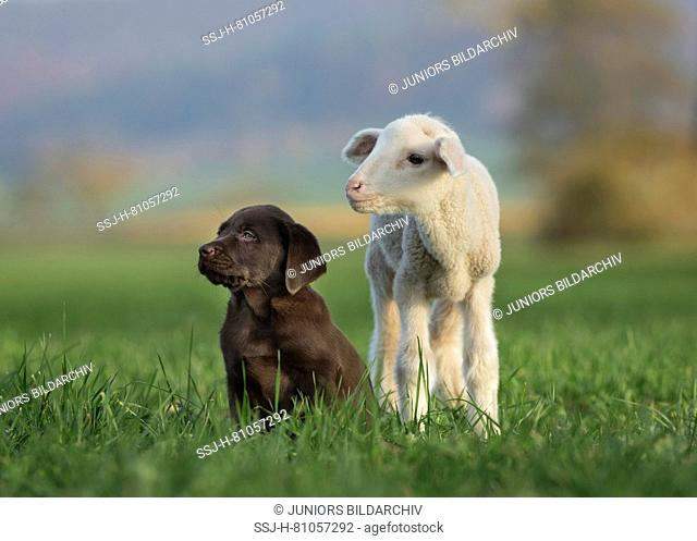 Labrador Retriever and Merino Sheep. Lamb and puppy on a meadow. Germany