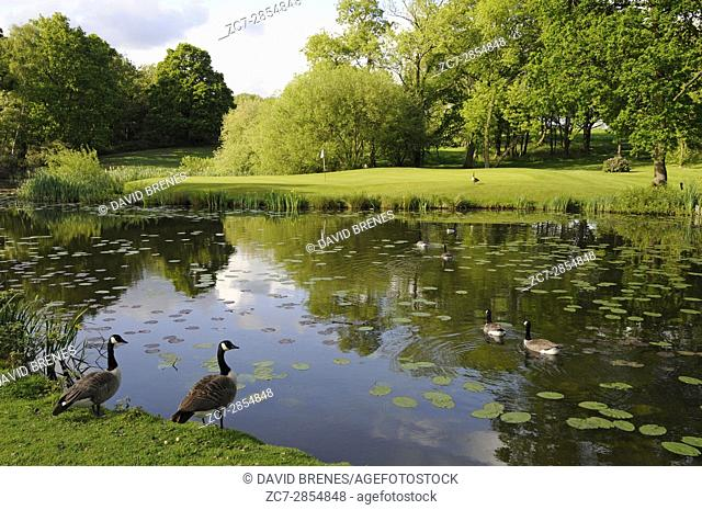 View over the lake with Canada Geese to the 15th Green, The Hertfordshire Golf Club, Broxbourne, Hertfordshire, England
