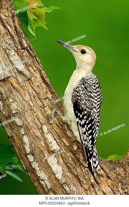 Red-bellied Woodpecker (Melanerpes carolinus) juvenile, Texas