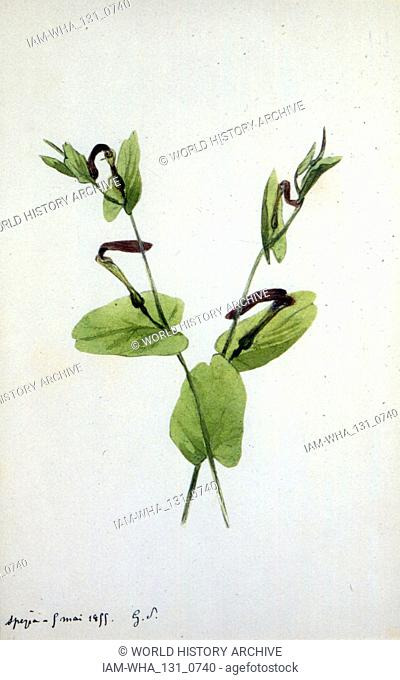 Aristolochia a large plant genus of the family Aristolochiaceae. Watercolour by Amantine Dupin (1804 - 1876), known by her nom de plume George Sand; French...