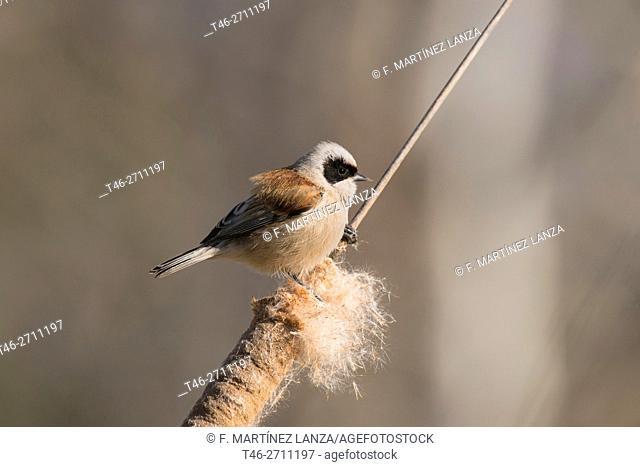 Eurasian penduline tit (Remiz pendulinus). Parque de Polvoranca, Leganes, Madrid province, Spain