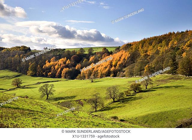 Larch Trees in Autumn near Richmond North Yorkshire England