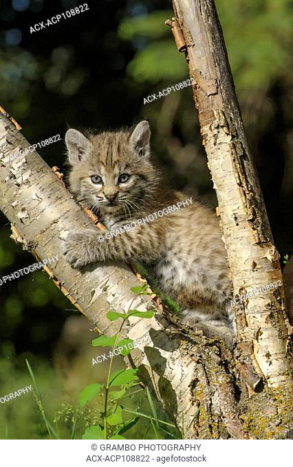 Bobcat kitten, Felis rufus, playing in tree in forest clearing in spring, Montana, USA