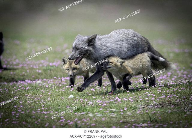 The cross fox is a partially melanistic colour variant of the red fox (Vulpes vulpes) which has a long dark stripe running down its back