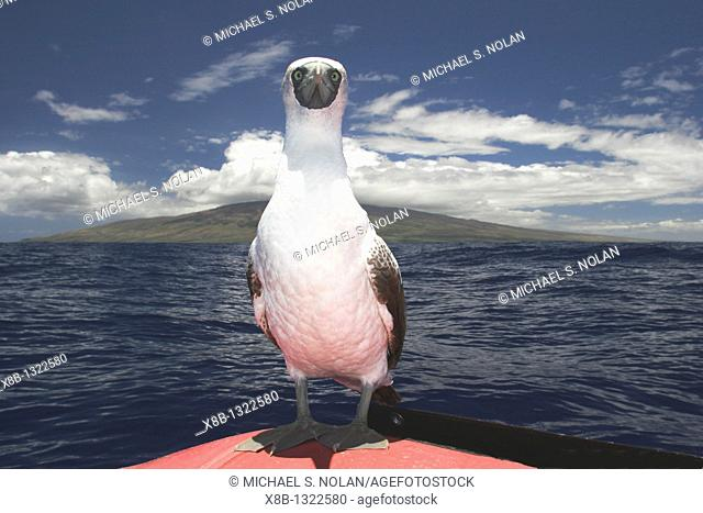 A curious juvenile masked booby Sula dactylatra resting on a small inflatable boat in the AuAu Channel, Maui, Hawaii  Pacific Ocean