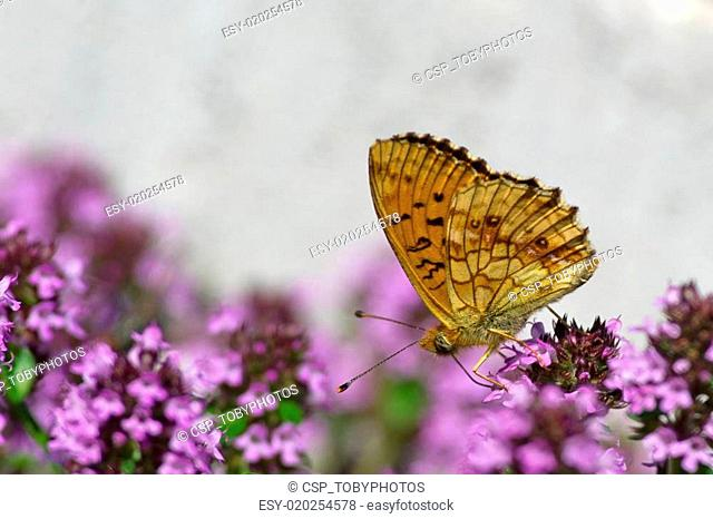 Lesser Marbled Fritillary (Brenthis ino) underneath