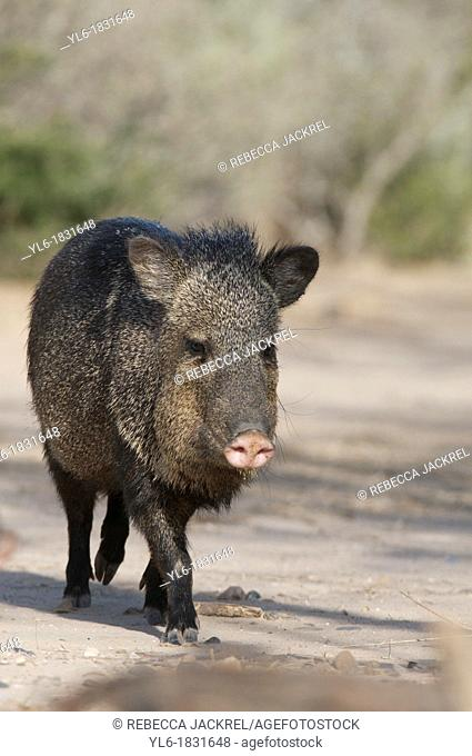 Javelina or collared peccary in Texas