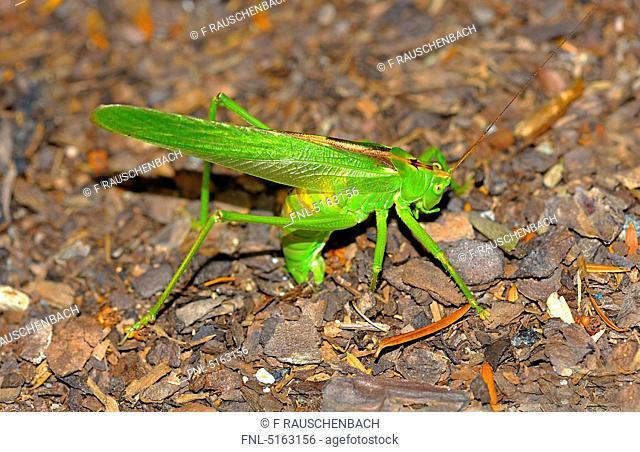 Grasshopper at oviposition