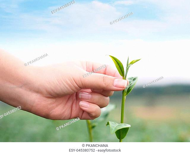 Woman hand picking green leaf in tea field at the north of Thailand with copy space