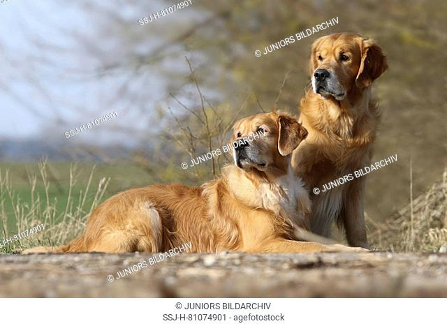 Golden Retriever. Father (8 years old) lying next to its sitting son (3 years old). Germany