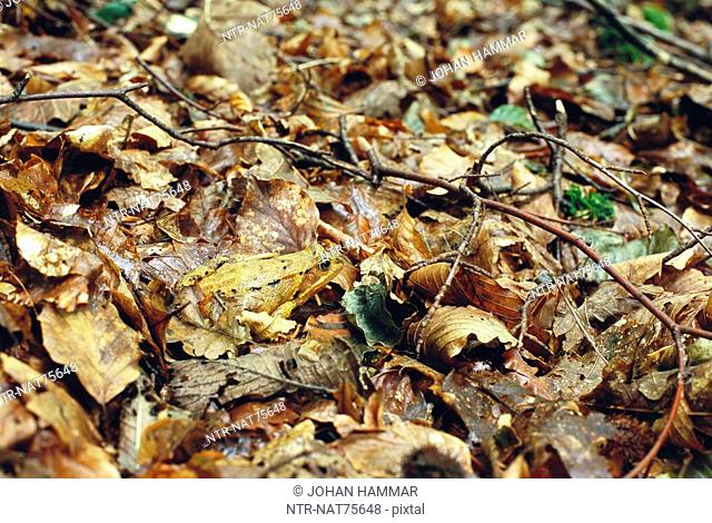 A frog on autumn leaves, Sweden