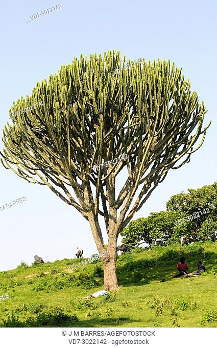 Candelabra tree (Euphorbia candelabrum) is a succulent shrub endemic to eastern Africa. This photo was taken in Ethiopia