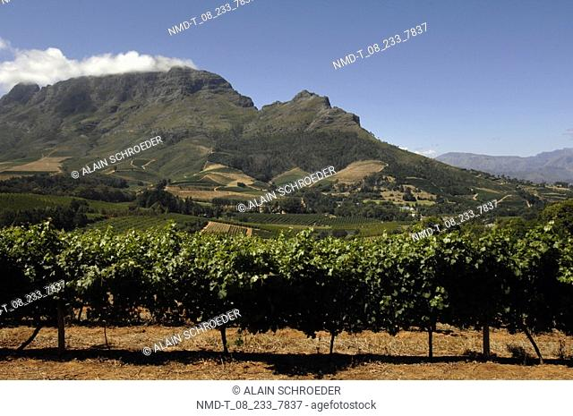 Vineyard in front of a mountain, Delaire Wine Estate And Vineyard, Western Cape Province, South Africa