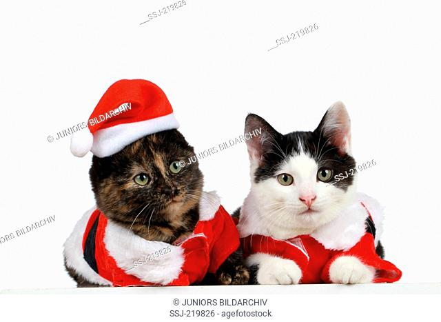 Domestic Cat. Pair of kittens dressed up as Santa Claus. Studio picture against a white background