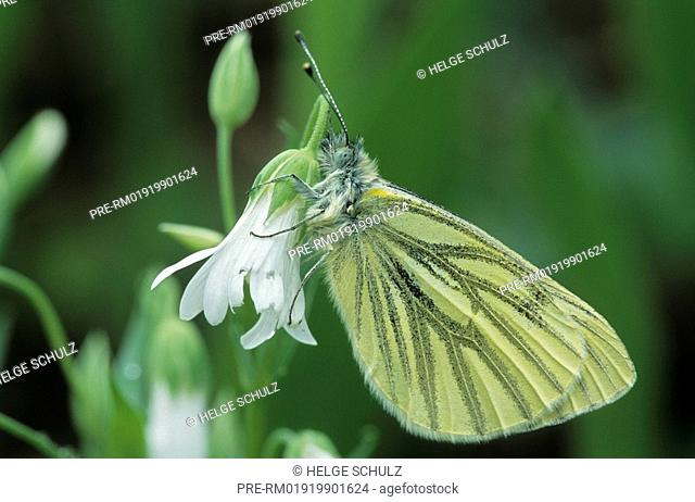 Green-veined White and Greater Stitchwort, Pieris napi, Stellaria holostea