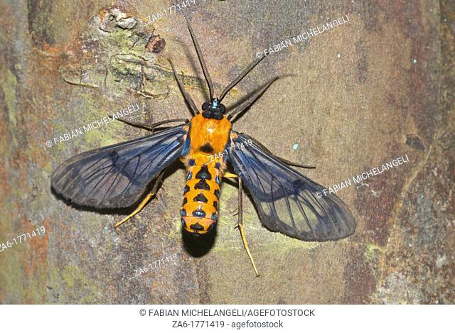 Clear wing moth in the Rain Forest of Guaramacal National Park  It resembles a wasp or bee and if you are not a careful observer, you might be deceived