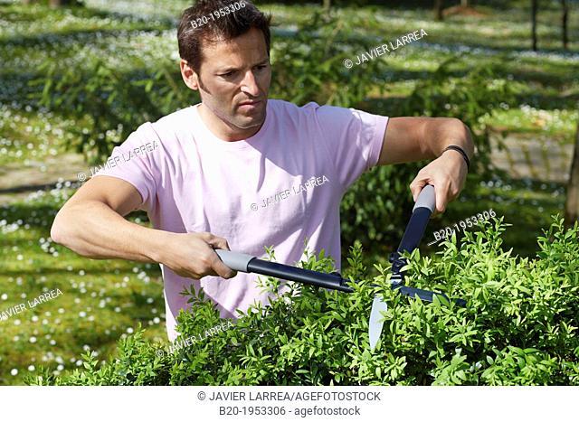 Hedge trimmers, Hand tool, Garden, Gardener pruning bush
