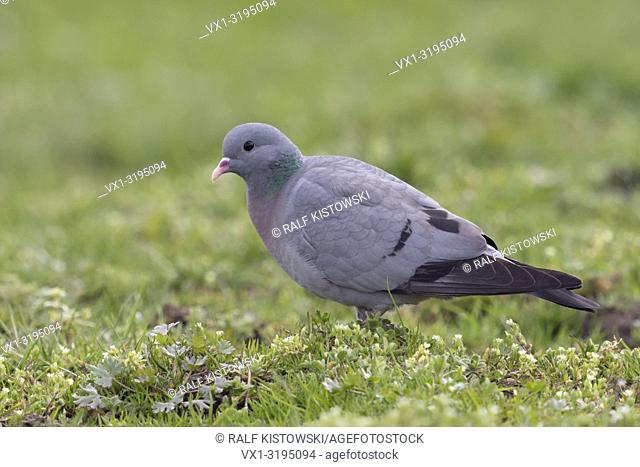 Stock Dove (Columba oenas) searching for food, on grassland, pasture, rare species, full body, side view, close