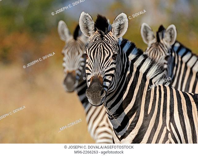 Zebras on alert, Matopos, Zimbabwe, Africa
